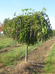 Teau0027s Weeping Mulberry U2013 Garden PoolTeas Weeping Fruiting Mulberry Tree