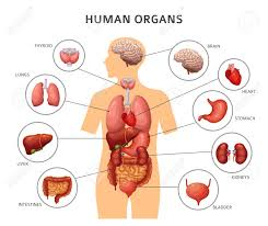 Extraordinary Human Body Internal Organs Stomach And Lungs