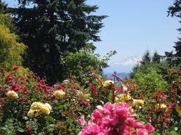rose garden portland oregon beautiful rose garden with mountain king through