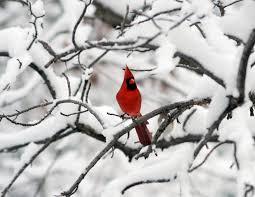winter cardinal wallpaper. Perfect Winter By Priscila Rendell  Cardinal Wallpapers 2033x1571 Throughout Winter Wallpaper O