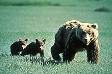 Grizzly Bear Classification Chart Grizzly Bear Wikipedia