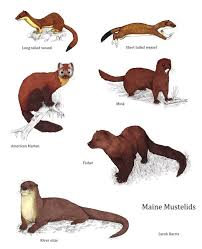 Rodents Lower Classifications Maine Mustelids By Koeskull Mammals Animals Animals