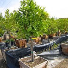 lemon tree x: meyer lemon tree semi dwarf citrus x meyeri meyer