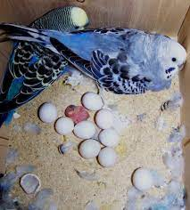 parrot and fertile parrot eggs for