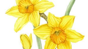 drawing daffodils