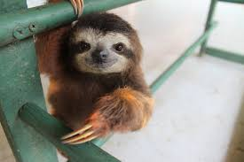 Image result for baby sloth