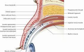 Eyelid Anatomy 50 Inspirational Eyelid Anatomy Diagram Tocacity Com