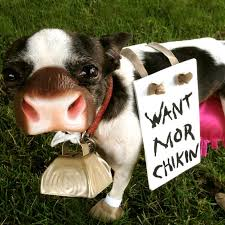 boston terrier cow
