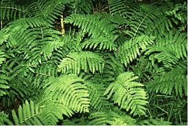 Image result for fern plants