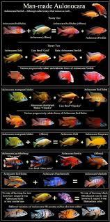 African Cichlid Aggression Chart Cichlids Aquarium Fish Cichlid Aquarium Cichlids