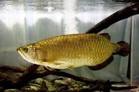 How To Use Arowana Fish In Feng Shui Lovetoknow