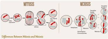 16 Differences Between Mitosis And Meiosis Mitosis Vs Meiosis