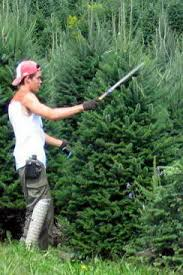 Cultivating Christmas Trees