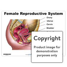 Female Reproductive System Chart Female Reproductive System