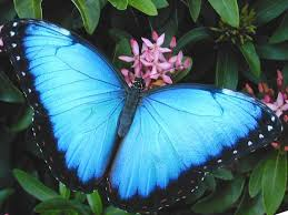 most beautiful butterflies in the world animated. Brilliant Butterflies Blue Morpho Butterfly Wings On Most Beautiful Butterflies In The World Animated T