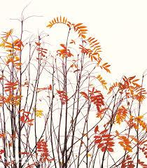 8 best staghorn sumac images on pinterest landscape design House Plants For Sale sumac google search house plants for sale online