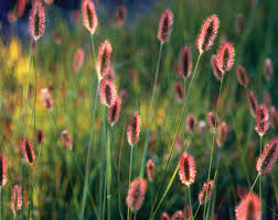 Red Bunny Tails Fountain Grass Pennisetum Messiacum Proven Winners