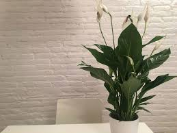 office indoor plants. Peace Lily Indoor Plants For The Office