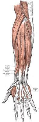 In the lower part of the forearm the muscle forms four tendons. The Muscles And Fasciae Of The Forearm Human Anatomy