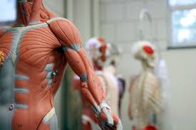 Muscle Location And Function Chart 11 Functions Of The Muscular System Diagrams Facts And