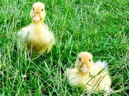 Raising Ducks How To Care For Ducklings Hgtv