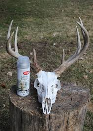 the two european whitetail mounts shown here were two of three done in just three days following the boiling cleaning bleaching and painting