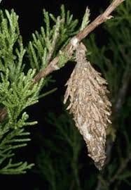 Bagworm Insect And Disease Index Keystone Tree Experts