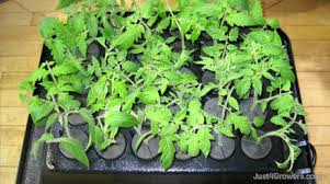 tomato cuttings ready to go in an aeroponic propagator