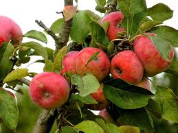 red apple fruit tree. apple red tree fruits fruit healthy r
