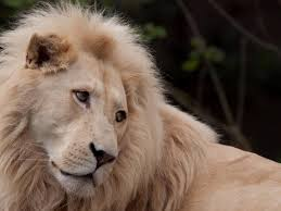 white lion hd pictures wallpapers
