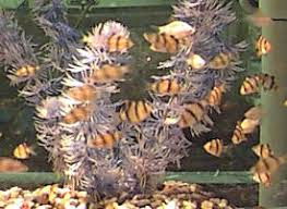 Tiger Barb Compatibility Chart Albino Tiger Barb Puntius Tetrazona Variety Fish Guide