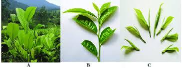 fresh tea leaves. Simple Fresh A Field View Of Camellia Sinensis L Kuntze Plant B Fresh Tea   Download Scientific Diagram Inside Fresh Tea Leaves A