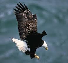 Small Picture Animals for Kids Bald Eagle