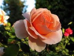 a rose is just a rose flowers free photo