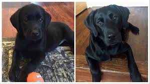 Black Lab Puppy Weight Chart Black Labrador Growth Progression Lab Puppies Black Lab