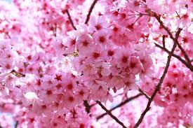 Bunga Sakura Yuk Lihat Peristiwa Langka Bunga Sakura Mekar Di Cibodas