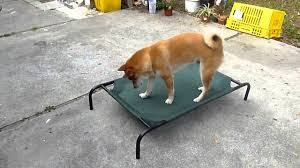 Shiba Inu is playing with Coolaroo Elevated Pet Bed