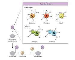 Discovery of <b>DNA Double</b> Helix: Watson and Crick | Learn <b>Science</b> ...
