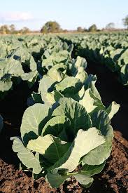 cauliflower plant. Beautiful Cauliflower Cauliflower Plant Growing In A Field Before The Head Forms Intended Plant