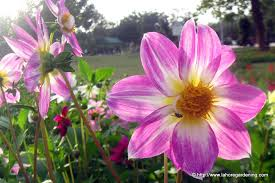 Winter Season Plants. dahlia