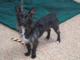 black cairn terrier mix. Wonderful Cairn Toxirn In Black Cairn Terrier Mix E