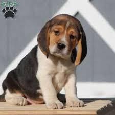 a beagle puppy named silas