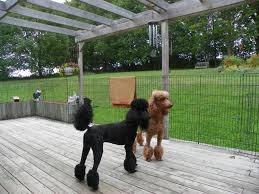 standard poodle sizes chart size of the standard poodle poodle forum standard poodle toy