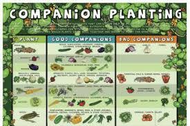 Companion Planting Chart Uk Gardening Companion Planting Chart