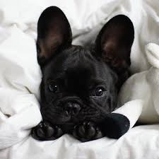 black teacup french bulldog.  Black Equated  On We Heart It Looks Like Velvet On Black Teacup French Bulldog F