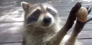 Raccoons In Vending Machine Awesome See 'Rocksy' The Raccoon Use A Rock To Order Food MNN Mother