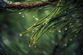 nature backgrounds. Nature Wallpaper Of Nature, Raindrops, Drops Water, Pine Backgrounds