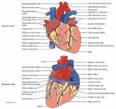 pericardial sac human anatomy heart anatomy and physiology fresh anatomy the