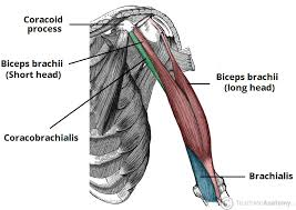Alibaba.com offers 1,262 muscles tricep products. Muscles Of The Upper Arm Biceps Triceps Teachmeanatomy