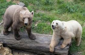 grolar bear size 18 hybrid animals that are hard to believe actually exist brown